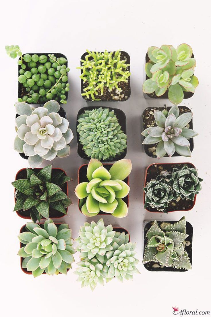 LIVE Unique Succulents Collection  Pack of 12  Ships Alone – Succulents wallpaper