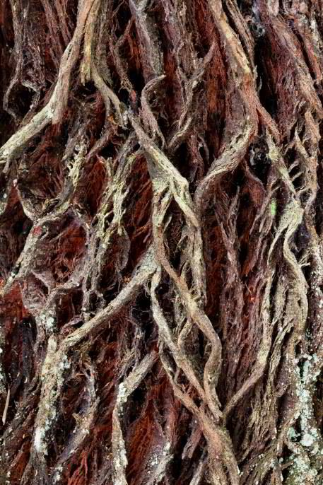 Rwenzori Tree Bark