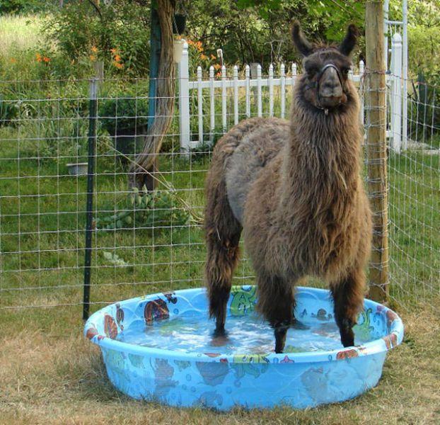 Pin by Katrina Kroetch on Llamas! Animals, Funny animals