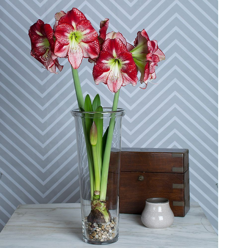 Amaryllis 39 flamenco queen 39 one bulb one 17 vase and for Vase amaryllis