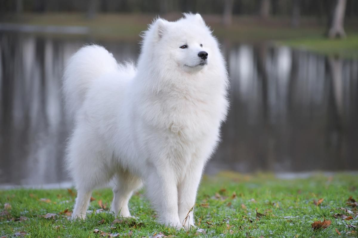 Image result for samoyed samoyed pinterest samoyed dog dog the samoyed dog breed is native to siberia this pure white dog makes a wonderful pet watchdog and companion presented to you here are some interesting voltagebd Image collections