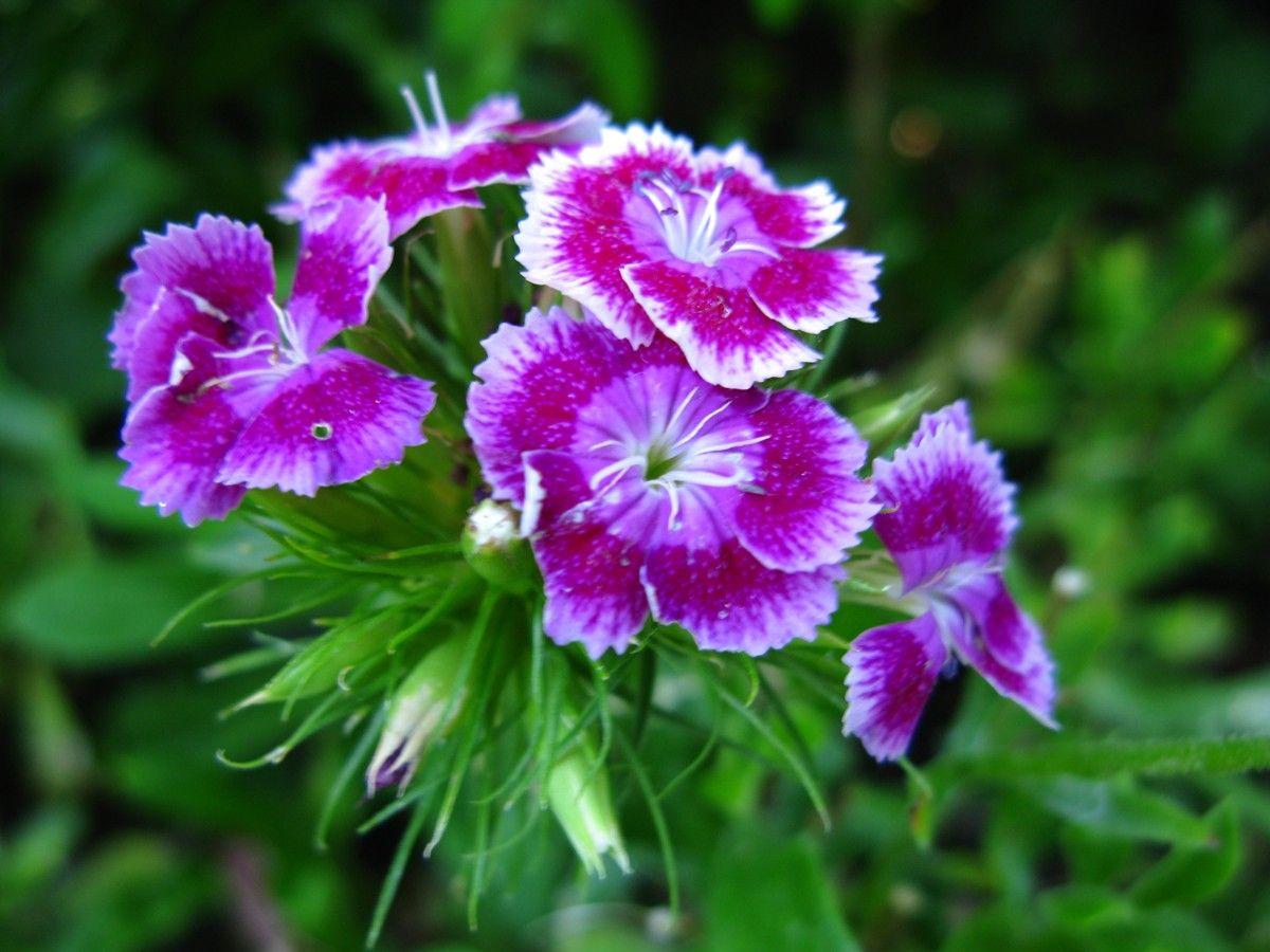 Фото гвоздики цветок любви