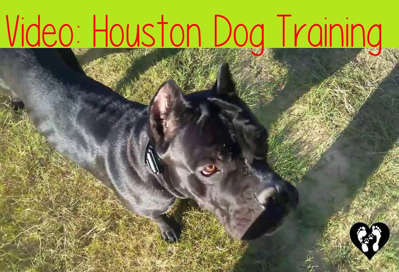 Houston Dog Training 10 Month Old Cane Corso Guard Off