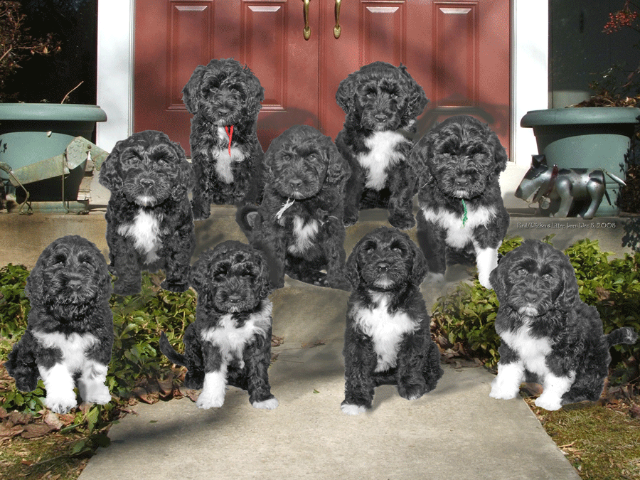 Redlitter Portie Puppies At 8 Weeks Portuguese Water Dog Water Dog Portugese Water Dogs