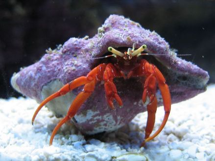 Four Scarlet Reef Hermit Crabs Paguristes Cadenati