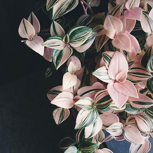 """1,090 Likes, 18 Comments - Houseplant Club (@houseplantclub) on Instagram: """"We have a thing for pink foliageWhat's your favorite color foliage? : @littleandlush thanks so…"""""""