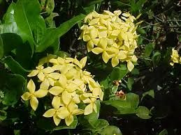 Image result for dwarf ixora plant