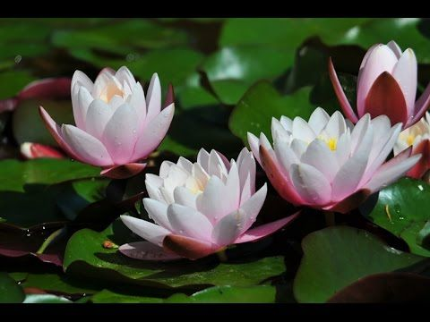 Beautiful blooming water lily flower time lapse video flora beautiful blooming water lily flower time lapse video mightylinksfo