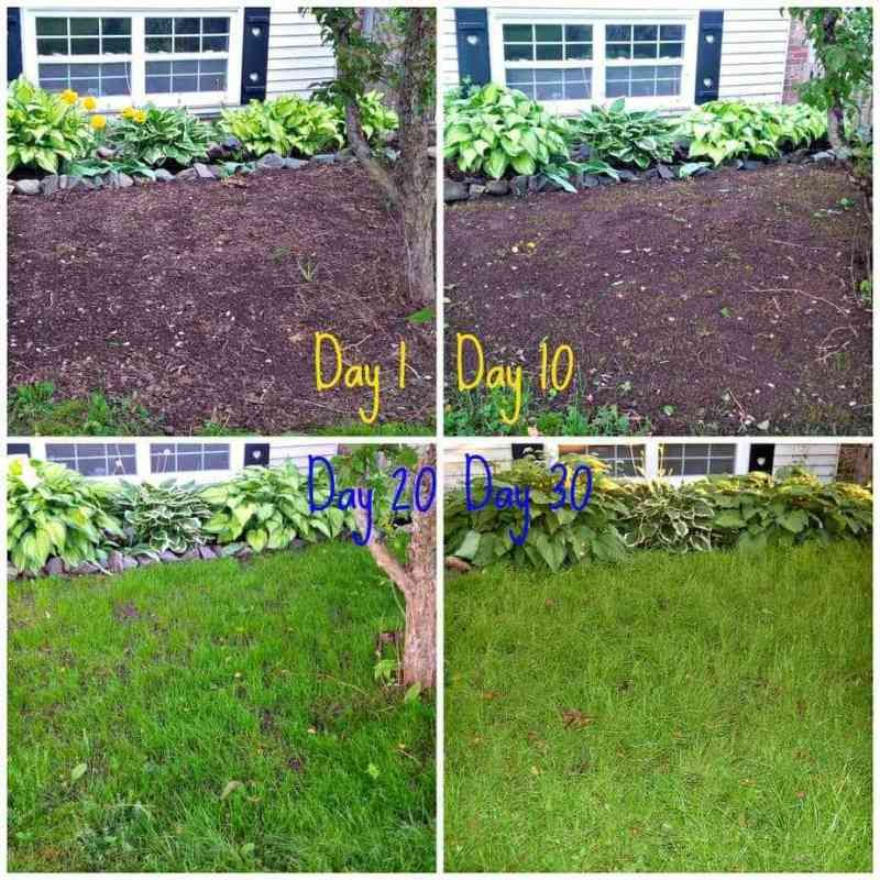How To Grow Grass From Seed Easy Guide Growing Grass From Seed Growing Grass Planting Grass