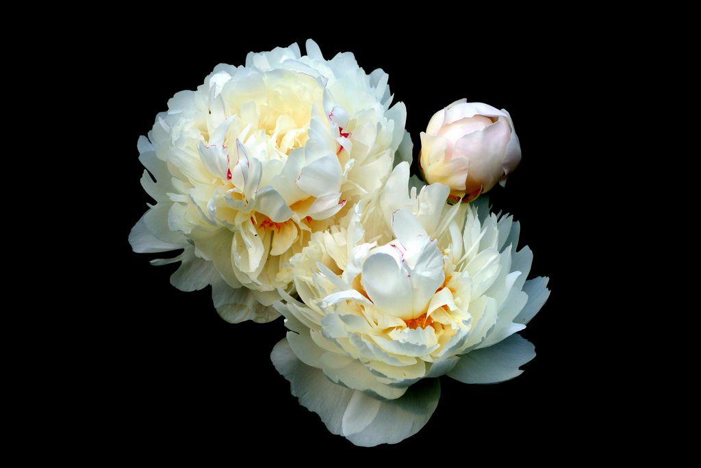 Peonies Peonies, White peonies, Flowers