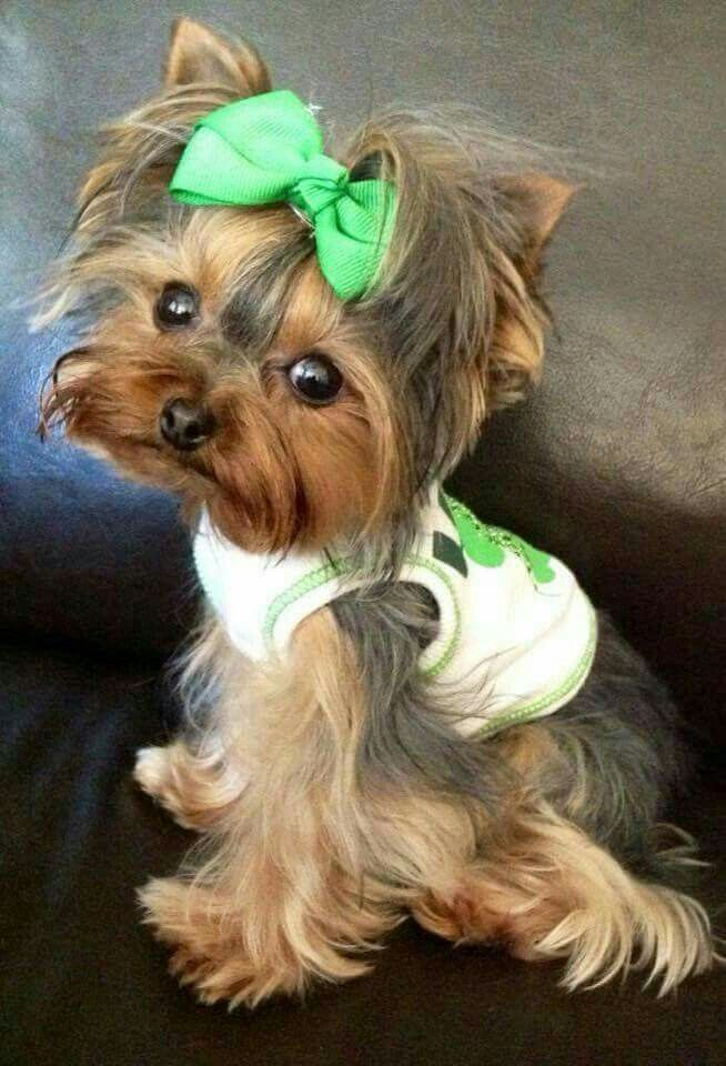 How Cute Yorkshire Terrier Puppies Yorkie Dogs Yorkie
