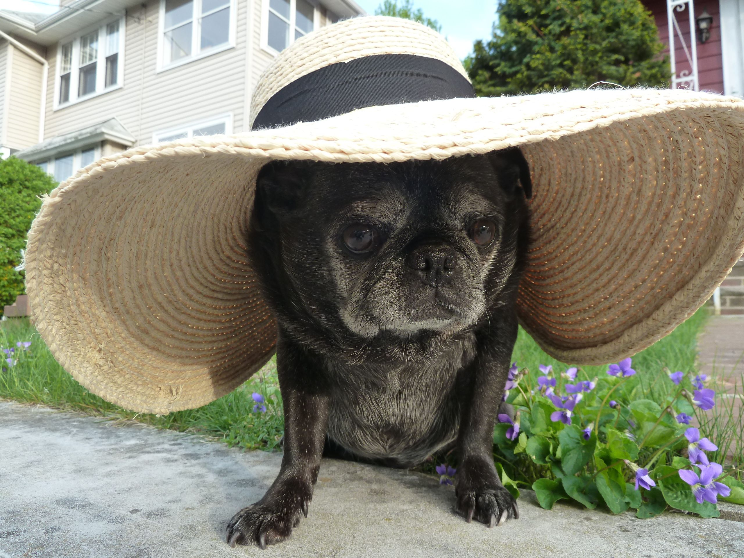 My 11 Year Old Pug Lucy With Her Kentucky Derby Hat Old Pug