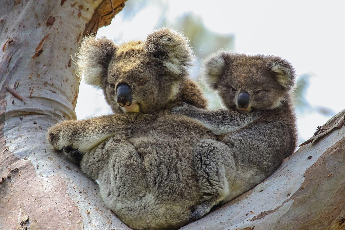 Koalas Could Become Extinct In Some Regions Of Australia By 2050 In 2020 Baby Animals Koala Koalas