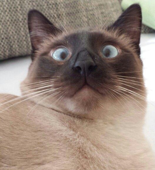 Siiamilainen Kissa