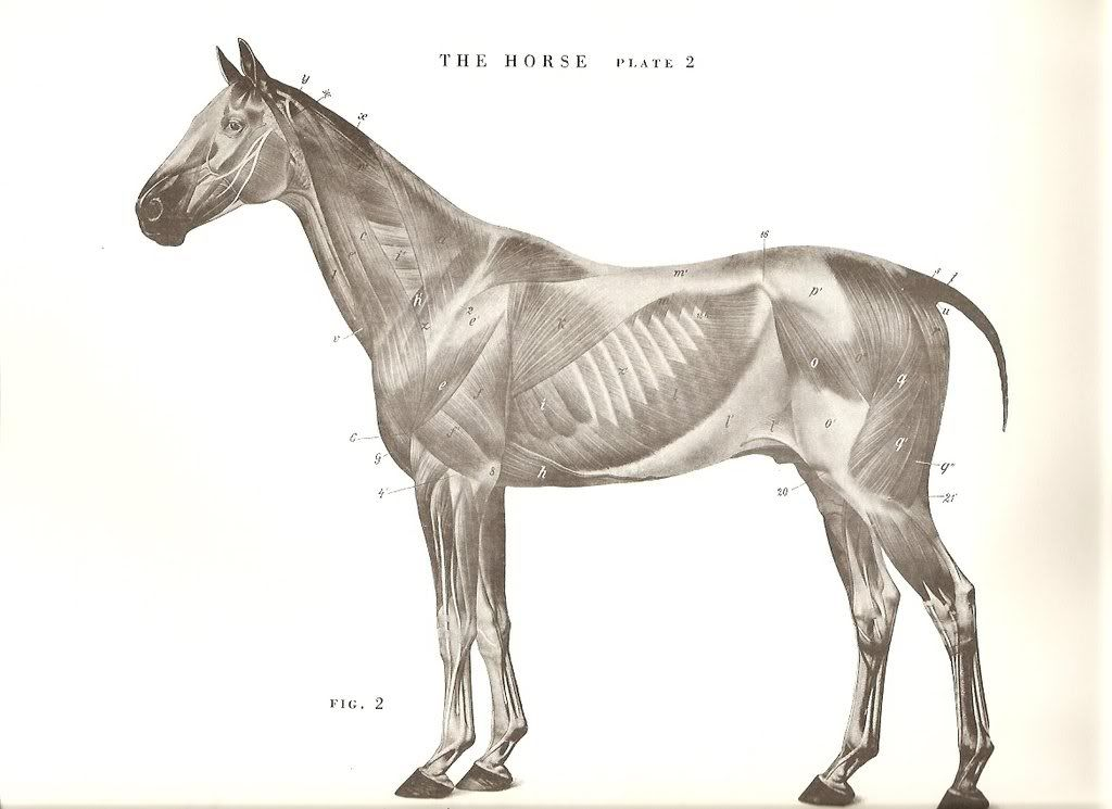 From An Atlas of Animal Anatomy for Artists by W. Ellenberger ...