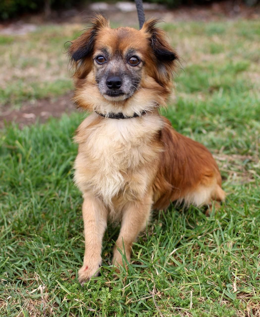 Adopt Redfeld on Dogs, Dachshund mix, Adoption
