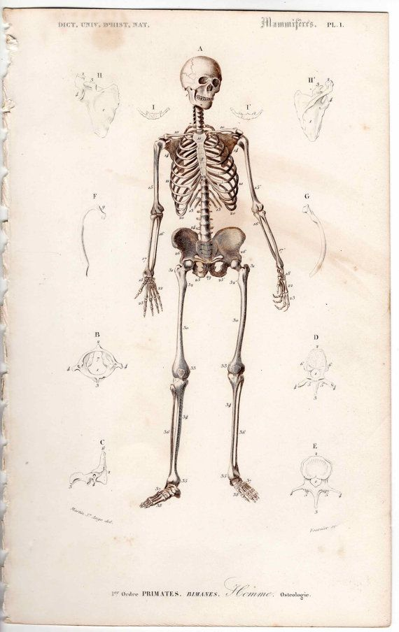 1849 SKELETON print antique human anatomy engraving | Medizinisch ...