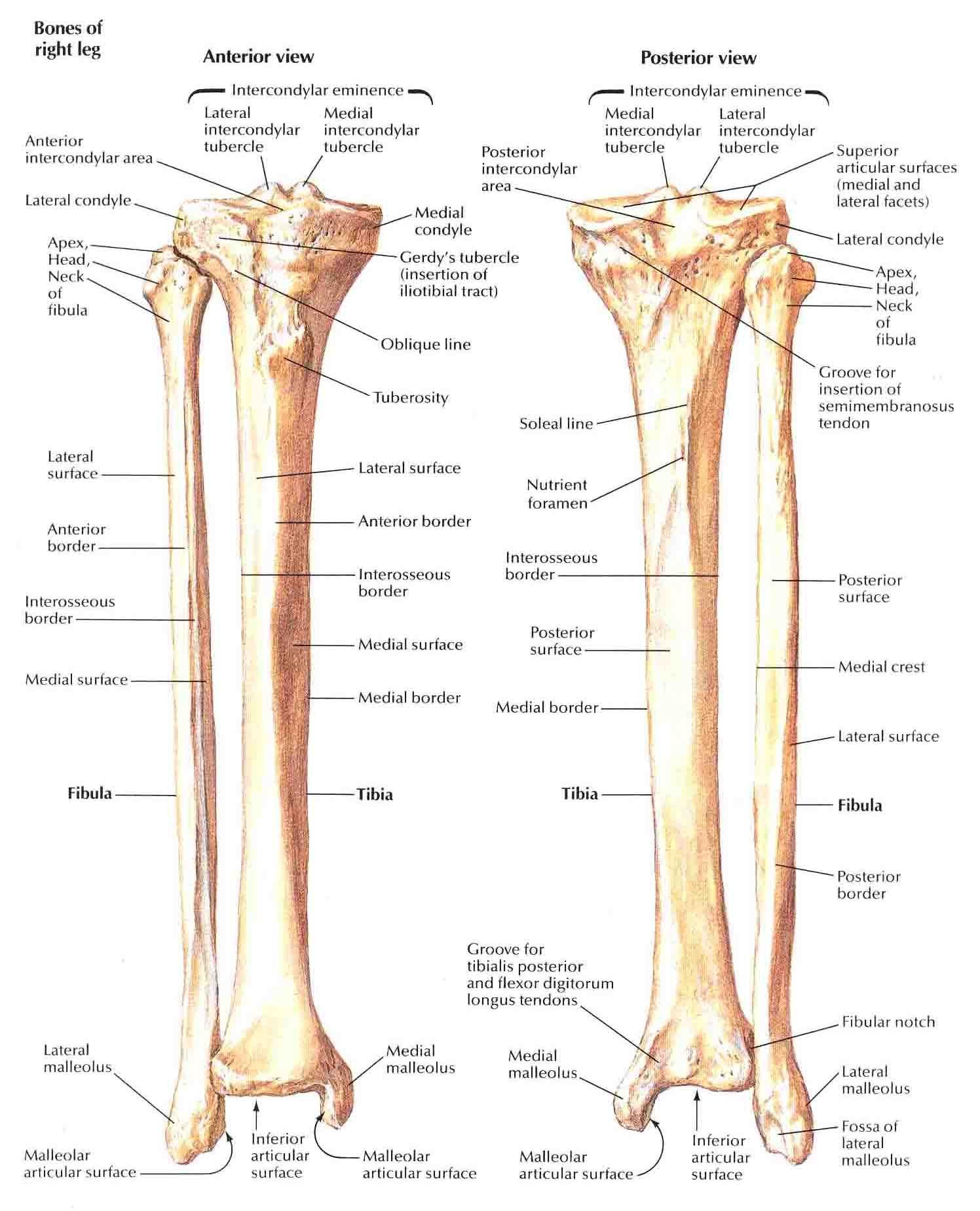 Tibia and Fibula (1) | nasm | Medical anatomy, Human