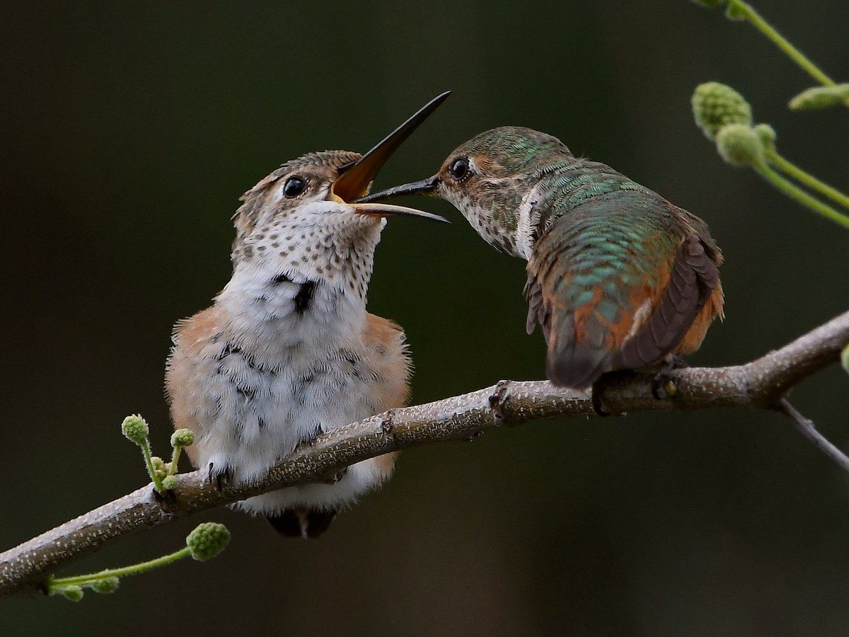 10 Adorable Pictures of Baby Hummingbirds Birds and