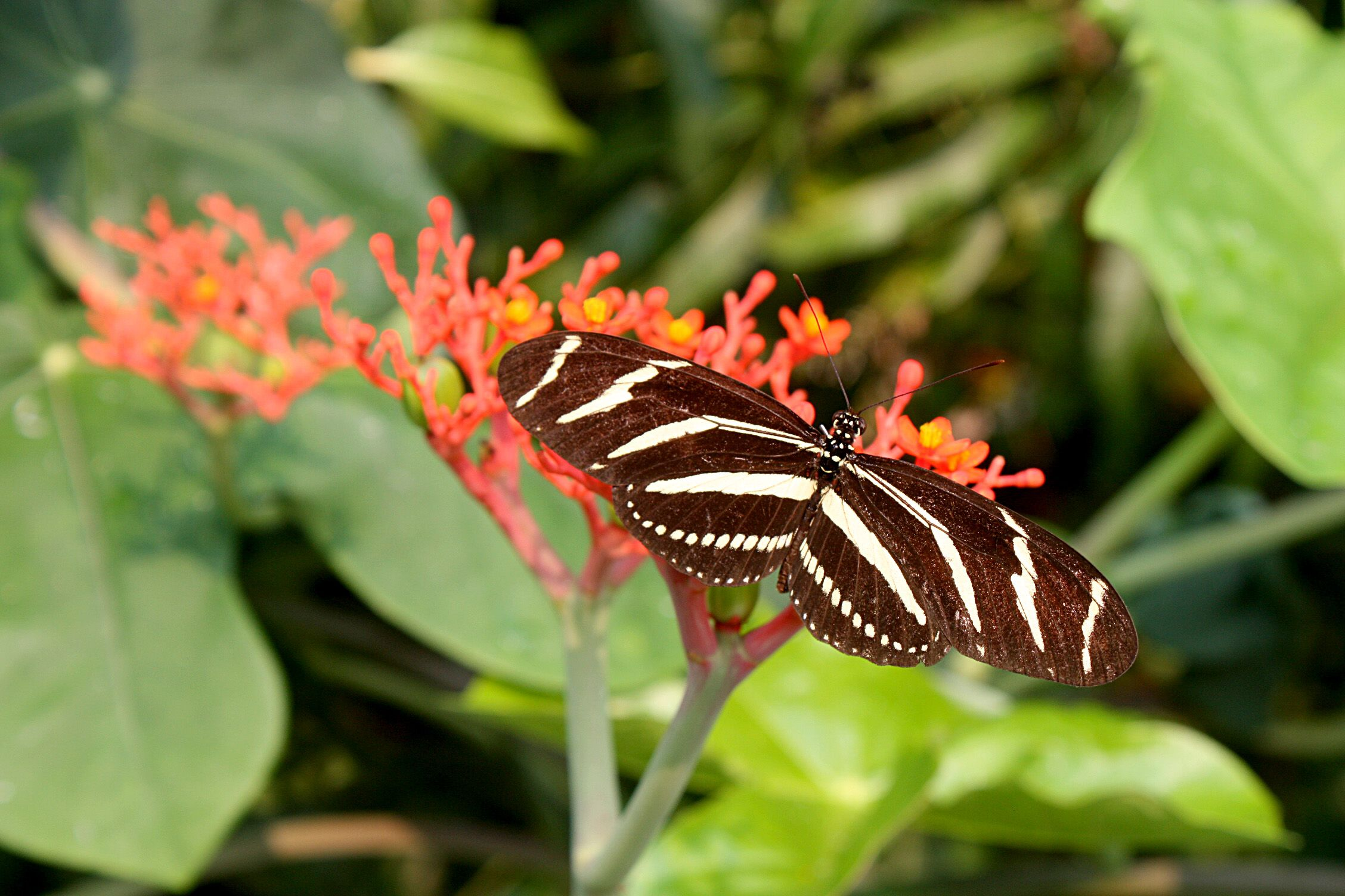 Zebra Longwing Butterfly On Buddha Belly Plant Plant Leaves Plants Flowers