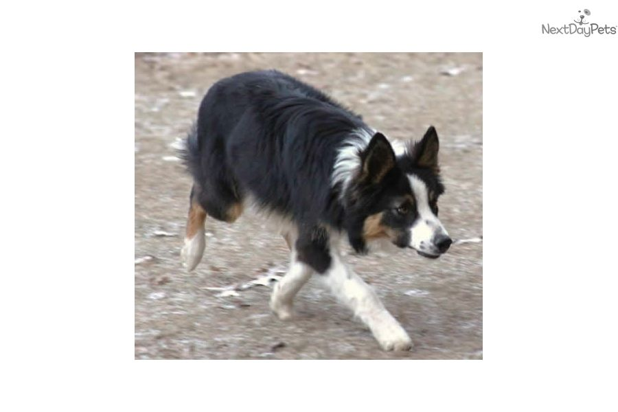 Super Cute Boy Puppies Collie Puppies For Sale Border Collie
