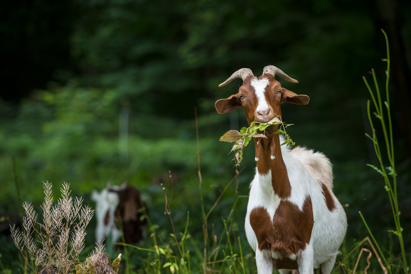How To Treat Goat Diseases And Illnesses Naturally Goats Dairy Goats Goat Kidding