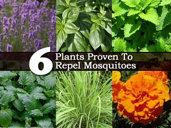 6 plants proven to repel mosquitoes lemon balm marigolds for What plants naturally repel mosquitoes