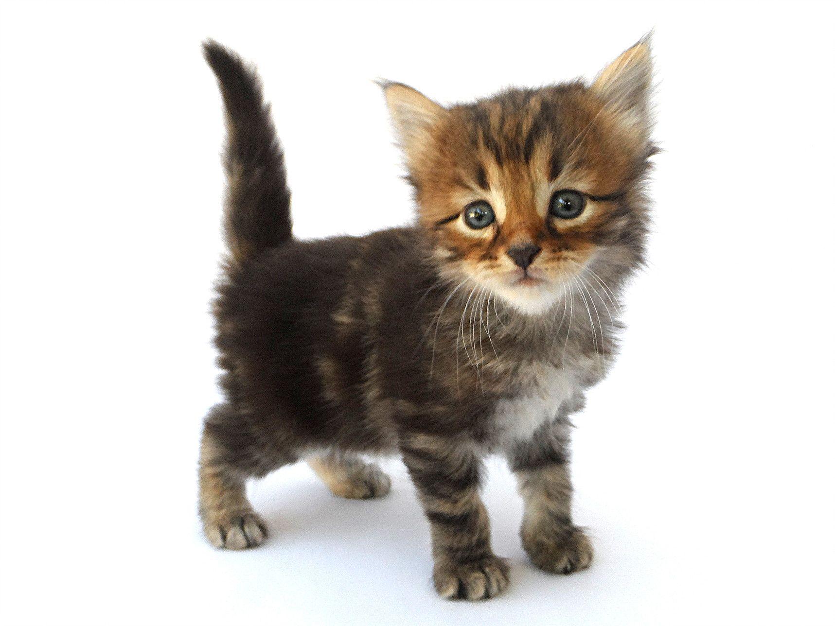 Hypoallergenic Cats Siberian Cat Breeders Kittens Litter C Cat Years Siberian Cat Siberian Cat Breeders