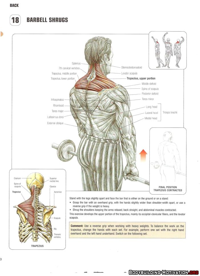 Training Anatomy - Back - Barbell Shrugs | Gym - Back/Shoulders ...