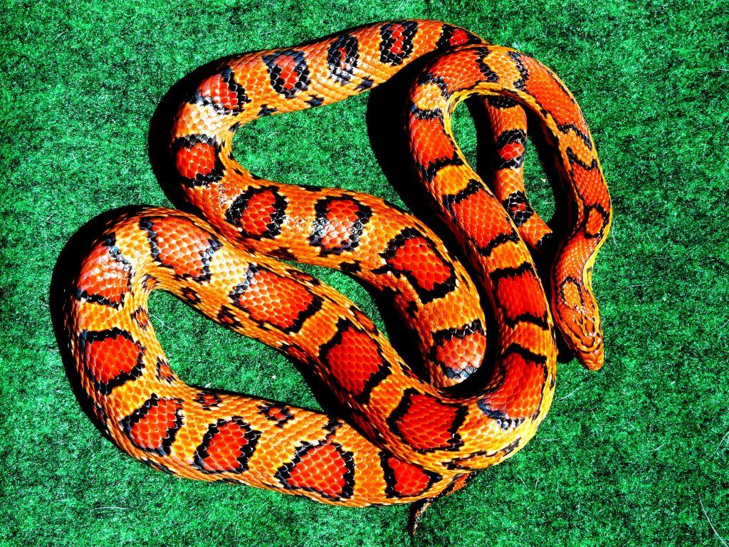 Who Has The Brightest Coloured Snake? - Page 13 - Reptile Forums
