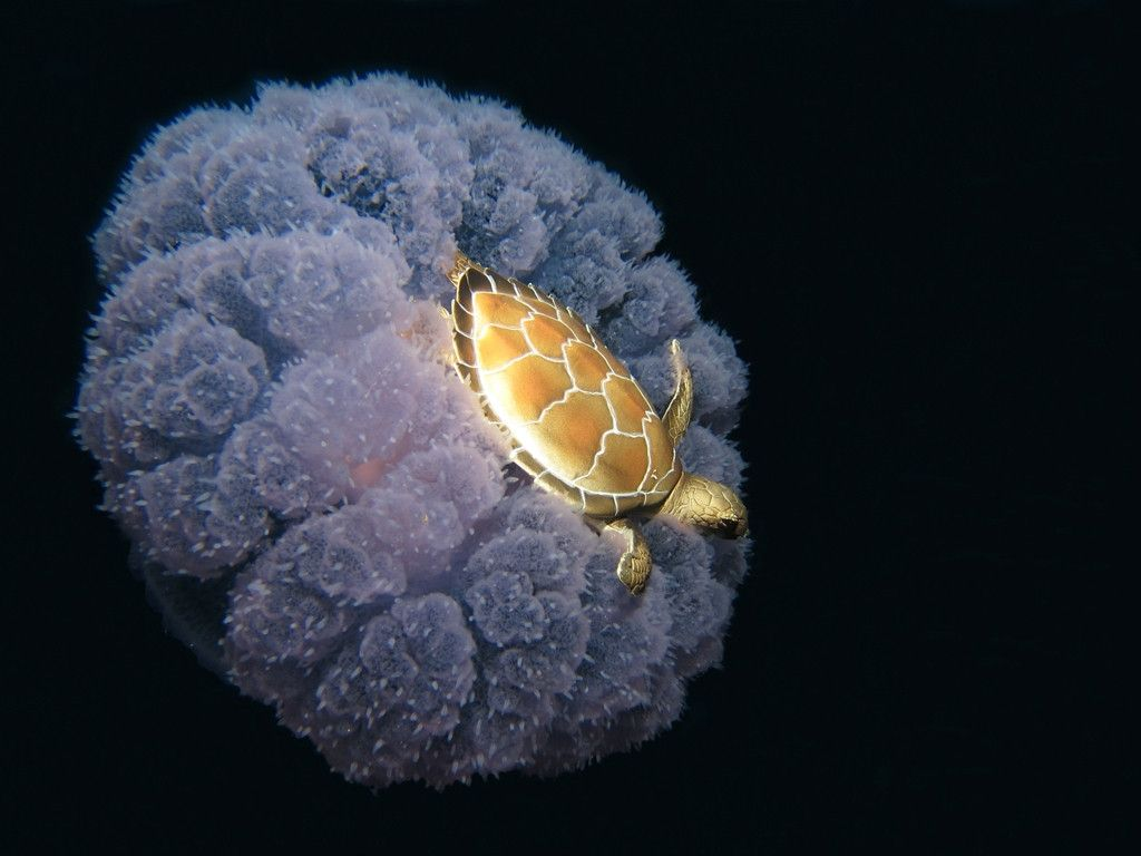 turtle riding on a jellyfish jellyfish turtle and animal