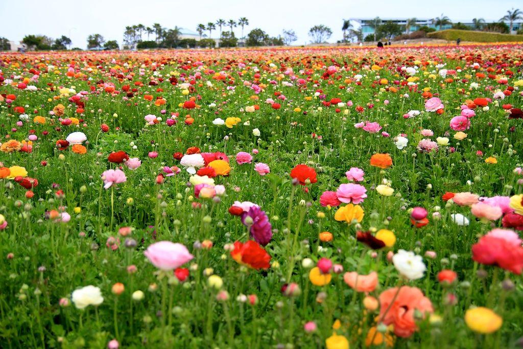 Flower Fields Of Carlsbad Review Photos California Through My Lens Flower Field Carlsbad Flower Fields Poppy Flower