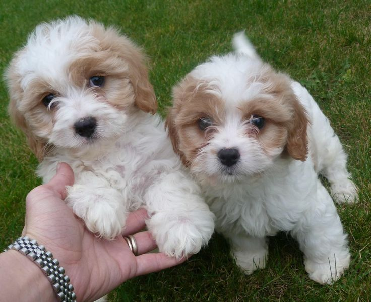 Are not Adult cavalier king charles spaniels for sale apologise