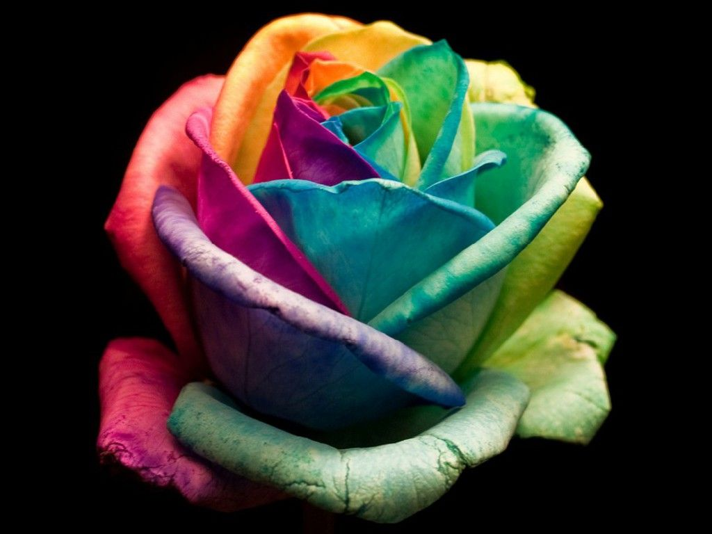 Colorful Free Colorful Rose Wallpaper Download The Free