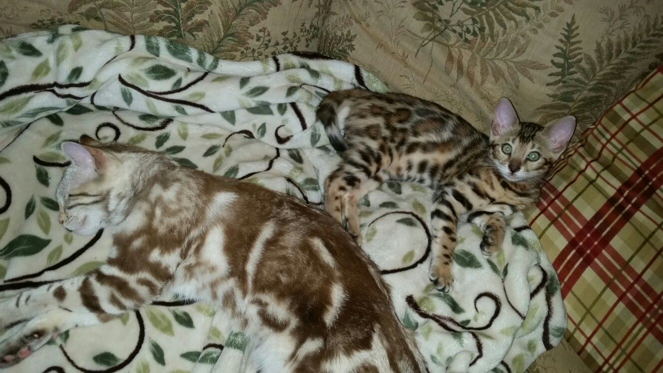 Pin By San Diego Bengal On San Diego Bengal Cat Breeder Bengal Cat Breeders Bengal Kittens For Sale