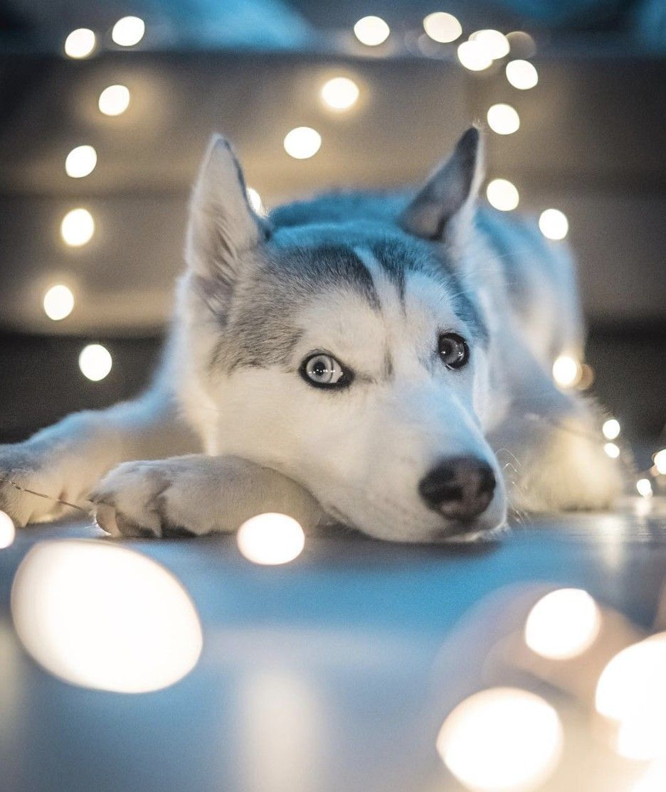 Siberianhusky Puppies Cute Dogs