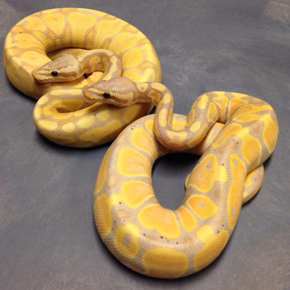Pastel Coral Glow And Coral Glow Ball Python
