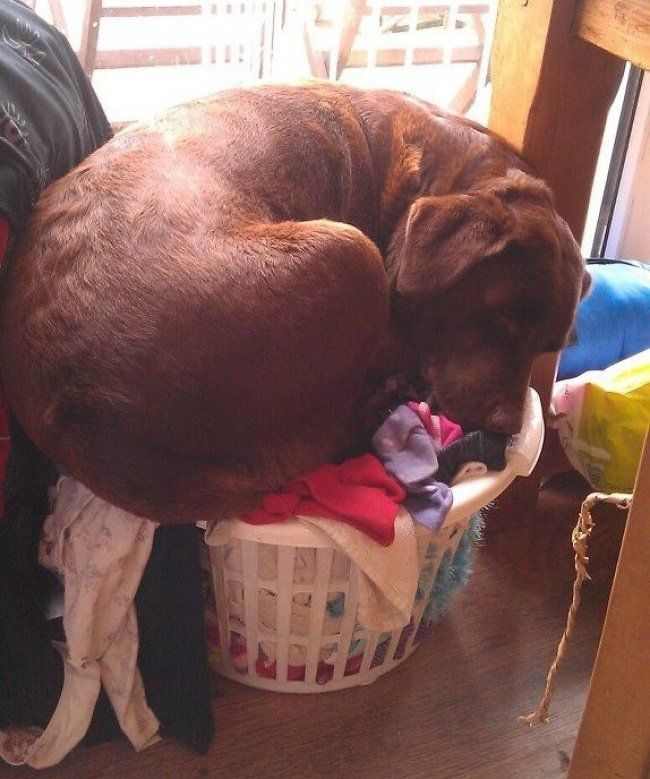 20 Dogs That Clearly Have No Idea How Huge They Are! Too Funny! | Cute animals, Dogs, Big dogs