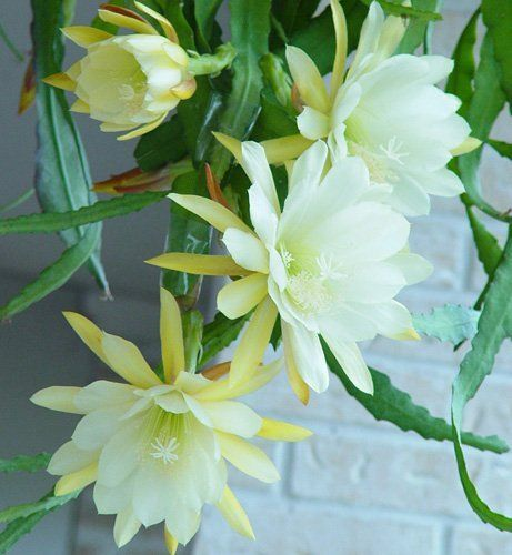 """Yellow Delight"" EPIPHYLLUM Orchid Cactus XL Pale Yellow Flower 1 Yr LG Plant by Houston Bamboo Nursery, http://www.amazon.com/dp/B008FJ2N08/ref=cm_sw_r_pi_dp_H.iAqb1QTKEHJ"