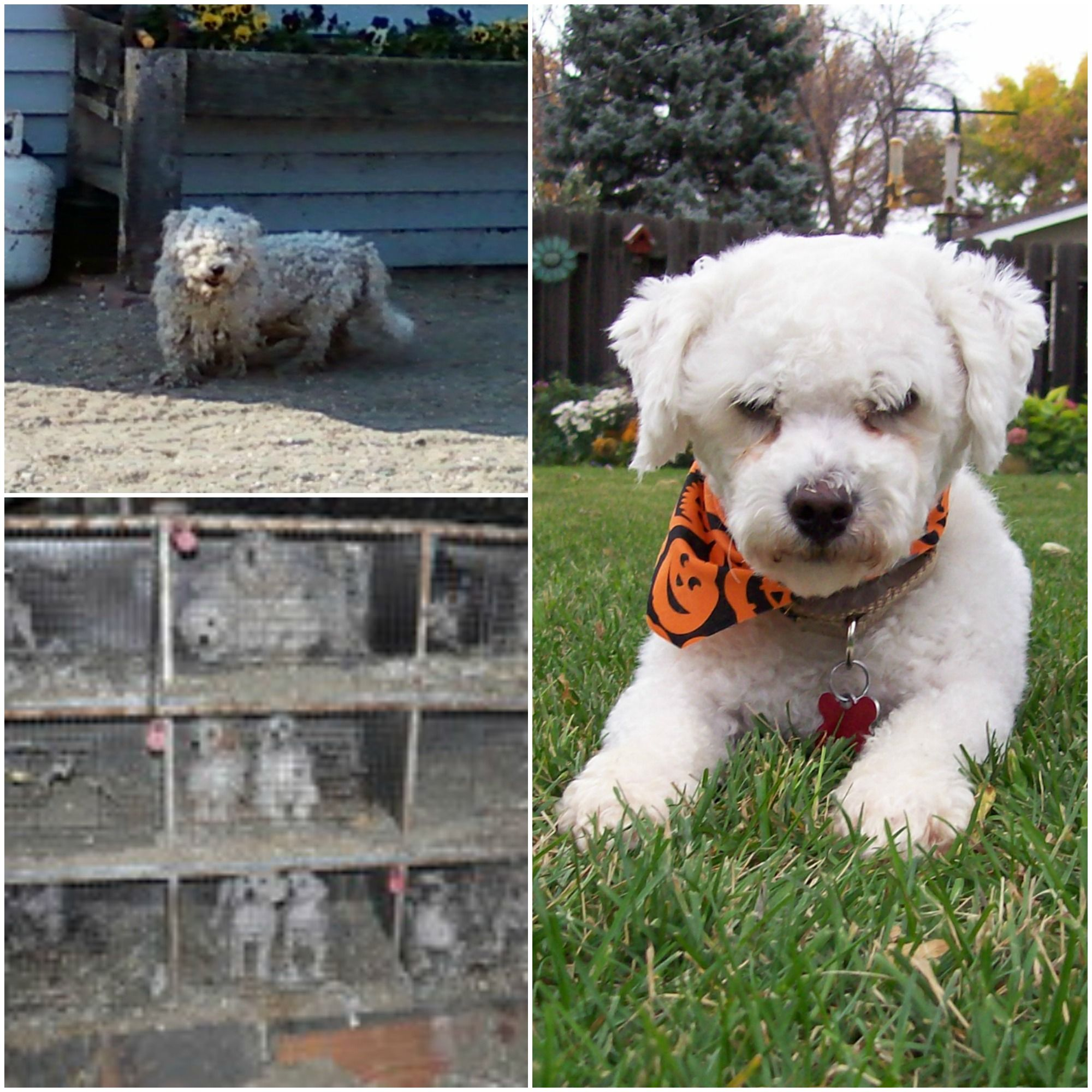 Puppy Mill Rescue Photos Google Search