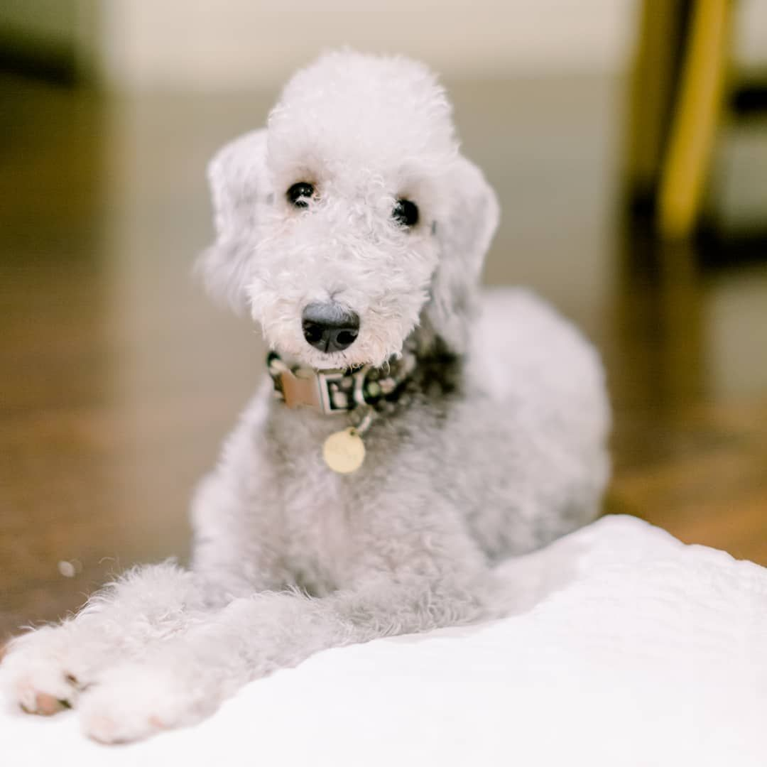 What Are The Most Popular Terrier Dog Breed Bedlington Terrier