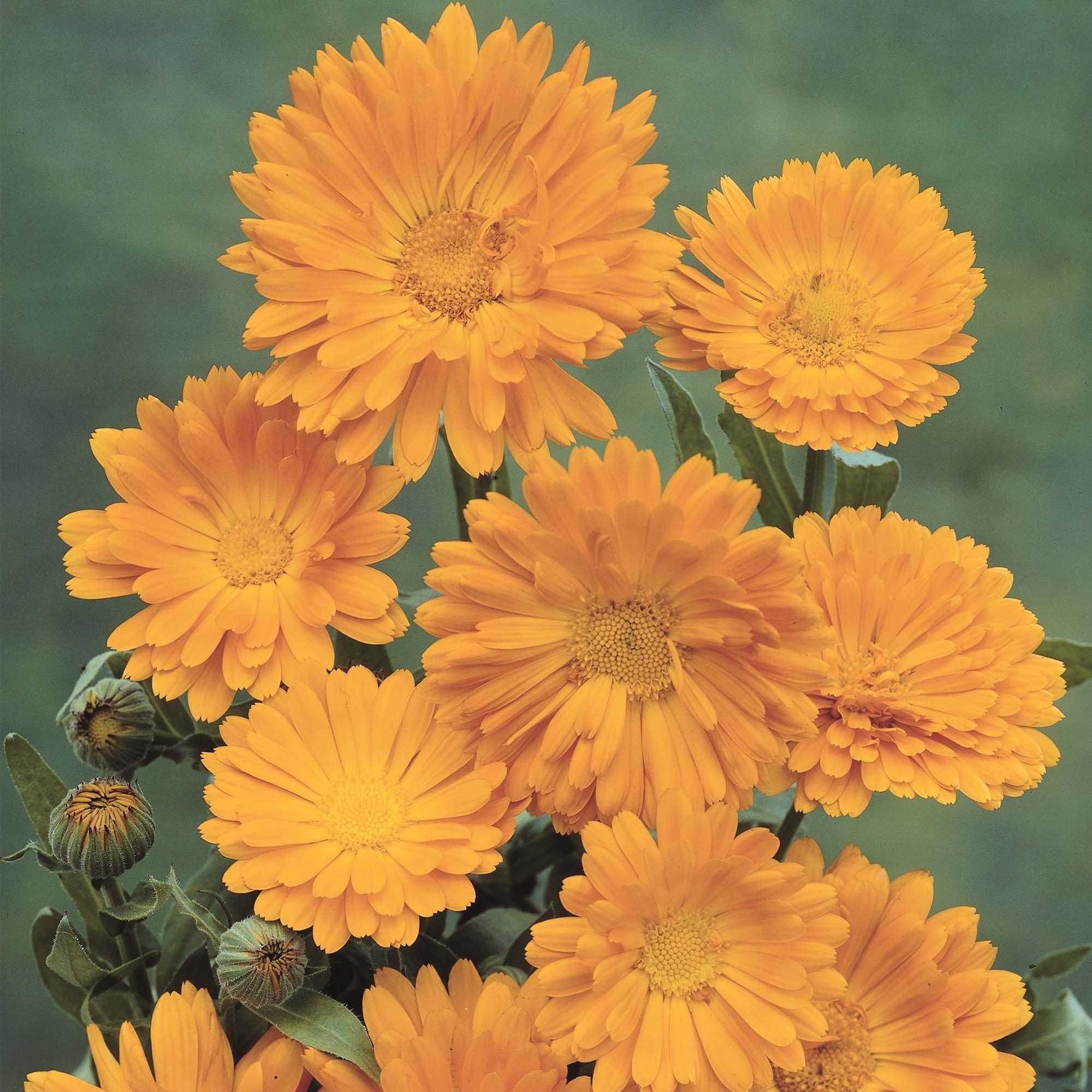 Calendula officinalis Marigold Hardy Annual Seeds