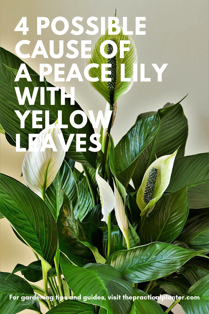 4 Possible Cause Of A Peace Lily With Yellow Leaves Plus The Fixes The Practical Planter In 2020 Peace Lily Peace Lily Care Peace Lily Plant