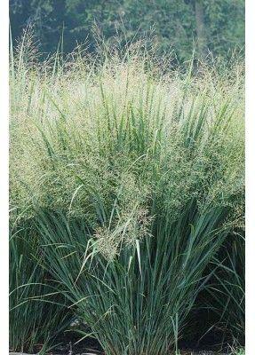 Switchgrass Panicum Virgatum Colour Green Blooms Mid Summer To Fall Light Full Sun Height 3 6 Soil Sand To Clay Water Tuin