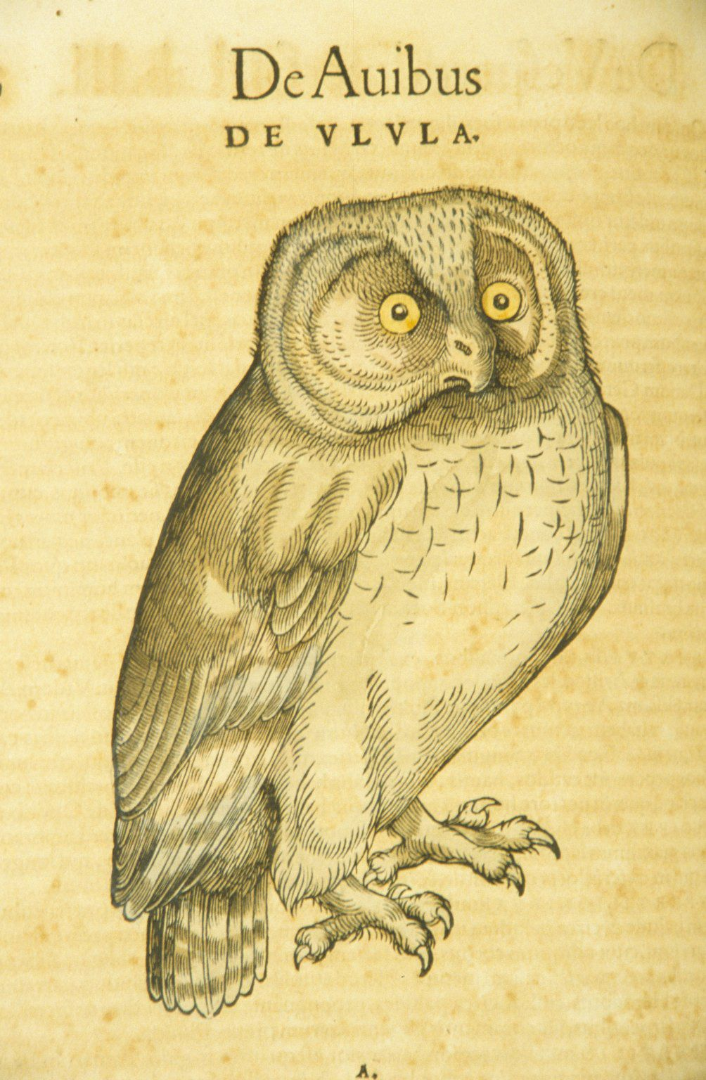 De Ulula By Konrad Gesner Historica Animalium 1617 Owl Art Owl History