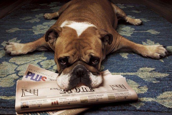 bulldog ingles periodico