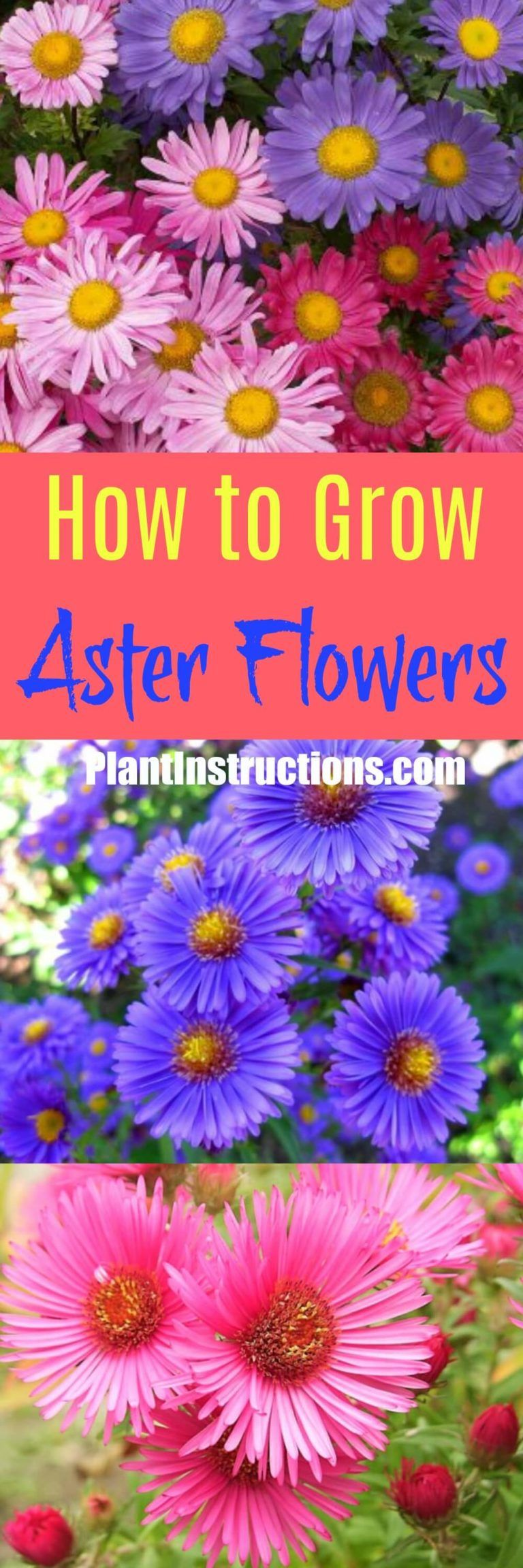 How To Grow Aster Flowers Aster Flower Growing Flowers Flowers Perennials