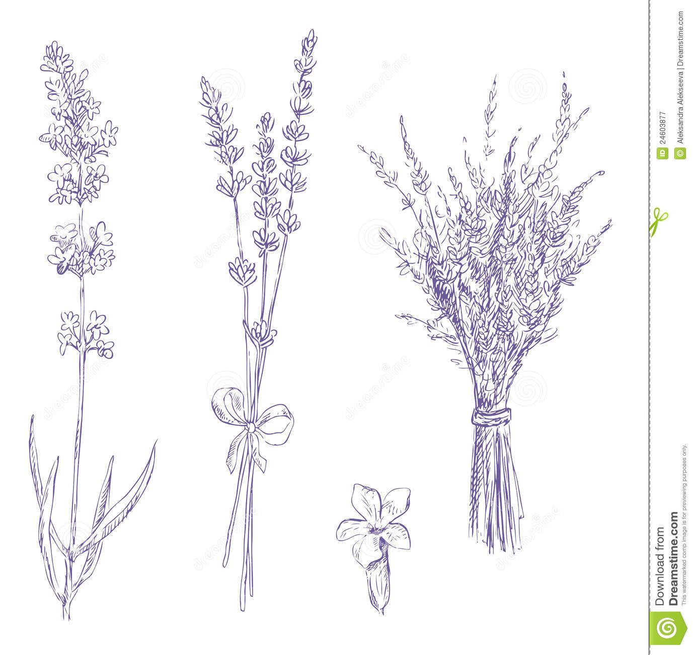 Line Drawing Lavender : Lavender pencil drawing set download from over