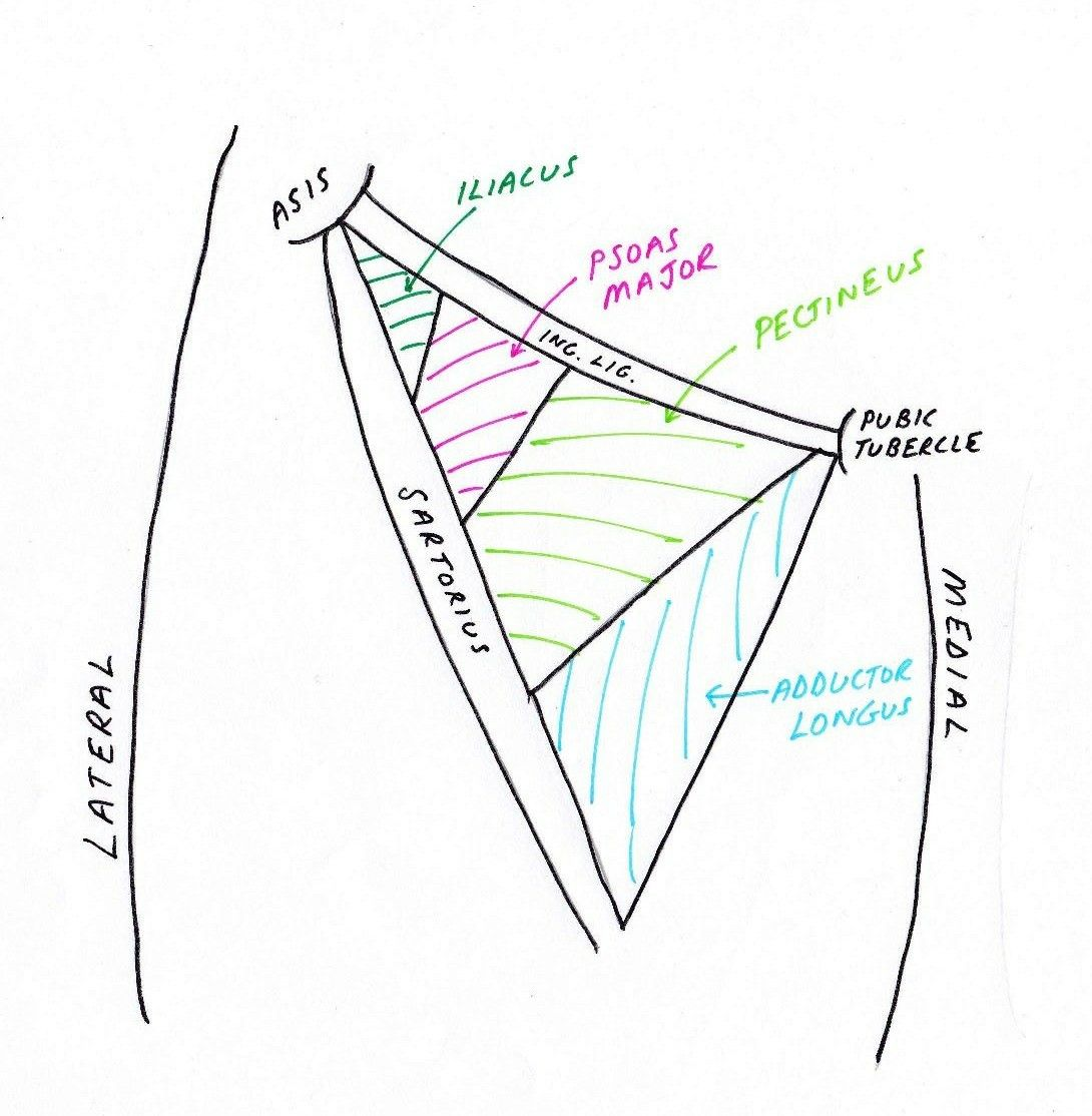 Floor of Femoral triangle ... (*) I P P Long | Triangles in anatomy ...