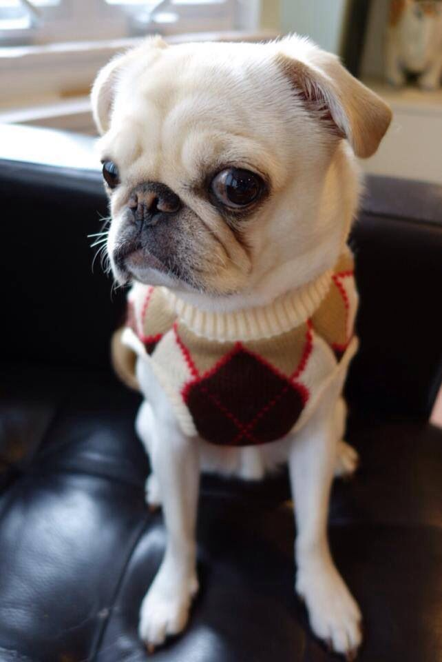A Pug In A Shrug With Images Cute Pugs Puggle Dogs Cute Animals